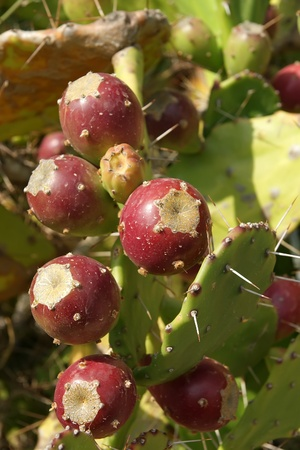 opuntia: Opuntia cactus (prickly pear) with ripe fruits  Stock Photo