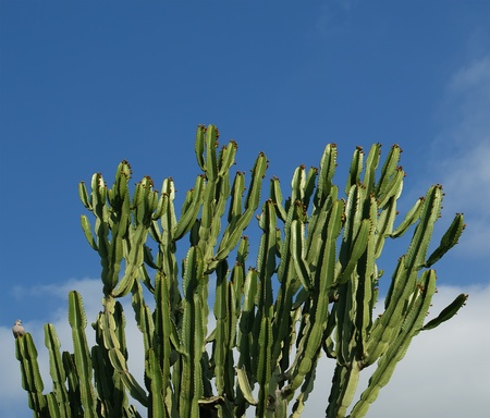 cactuses closeup in natural conditions, on clear sky background photo