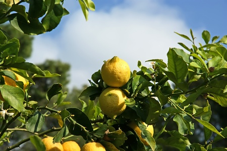 Lemons on a lemon tree photo