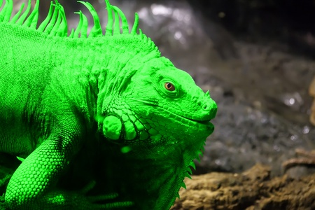 Green Iguana or Common Iguana (Iguana iguana) is a large, arboreal herbivorous species of lizard of the genus Iguana native to Central and South America Stock Photo - 13006235