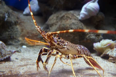 Colourful Tropical Rock lobster under water, aquarium Barcelona, ​​Spain 写真素材