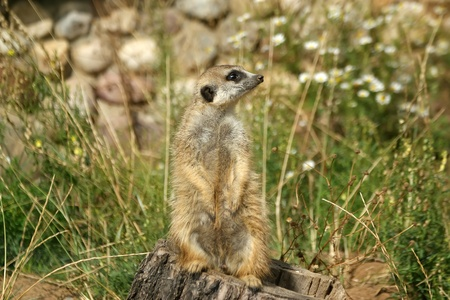 The meerkat or suricate (Suricata, suricatta), a small mammal, is a member of the mongoose family Stock Photo - 13191622
