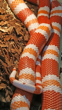 Honduran milksnake (Lampropeltis triangulum hondurenisis). Stock Photo - 13191643