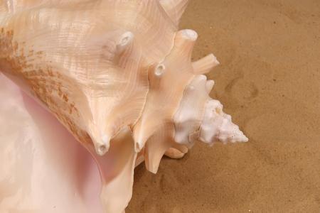 Large seashells on the sand, Studio shot Stock Photo - 13190106