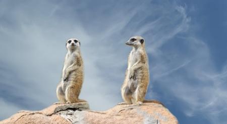 mangosta: La suricata o suricate (Suricata, Suricata), un peque�o mam�fero, es un miembro de la familia de la mangosta