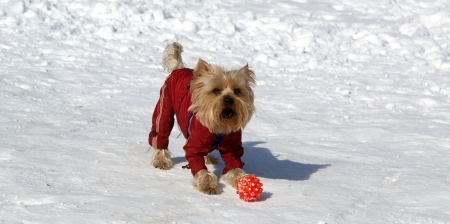 yorke: Yorkshire terrier playing with a ball in the snow in the winter Stock Photo