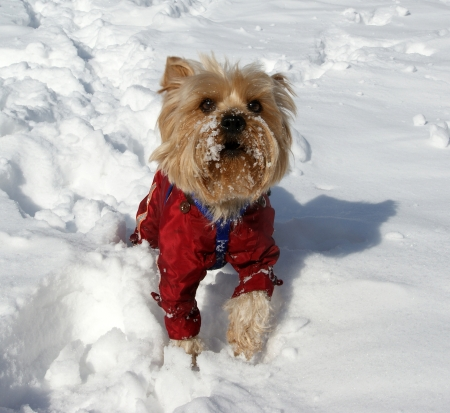 yorke: Yorkshire terrier playing in the snow in the winter