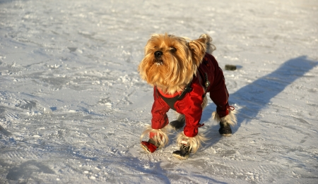 yorke: Yorkshire terrier in red costume playing in the snow in winter Stock Photo