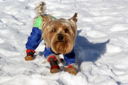 yorke: Yorkshire terrier in blue costume playing in the snow in winter