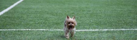yorke: Yorkshire terrier Stock Photo