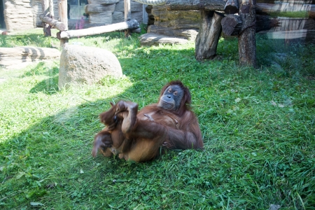 large image of the big terrible orangutan photo