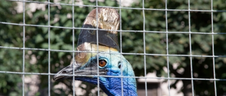cassowary: The large image of cassowary. Moscow Zoo, Russia