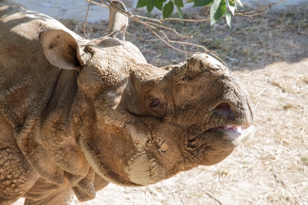 exists: The white rhinoceros or square-lipped rhinoceros (Ceratotherium simum) is the largest and most numerous species of rhinoceros that exists Stock Photo