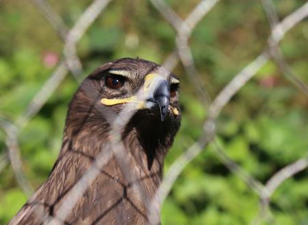 chrysaetos: Young golden eagle (Aquila chrysaetos) close-up