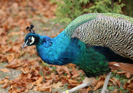 pavo cristatus: elegant fluffy peacock (Pavo Cristatus)