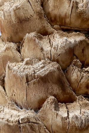 date palm tree: Date Palm tree trunk. The rough textured surface of the trunk of a date palm tree