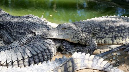 cruel zoo: A closeup photo of a crocodile, Malaga in Andalusia, Spain