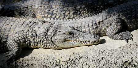 caiman: A closeup photo of a crocodile