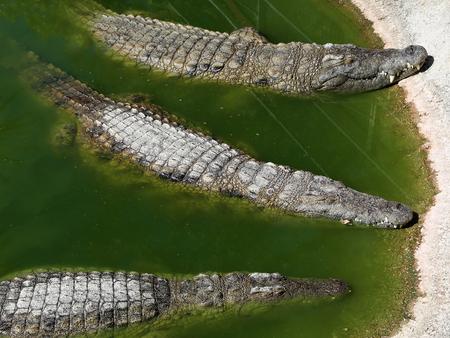 cruel zoo: A closeup photo of a crocodile