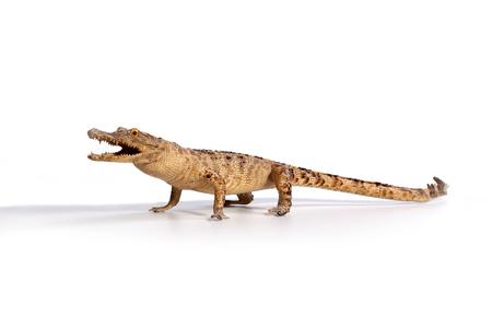 alligators: Crocodile on a white background Stock Photo