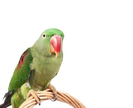 ringed: Big green ringed or Alexandrine parrot on white background