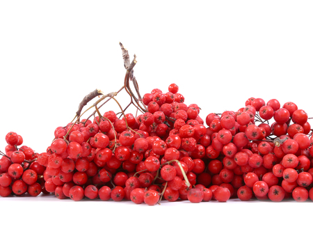 red rowan berries , isolated on white background Stock Photo