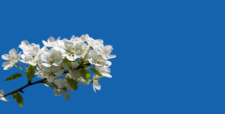 Blooming apple tree branch with large white flowers (isolated on a blue background)-- Beautiful natural background with apple tree flowers Imagens
