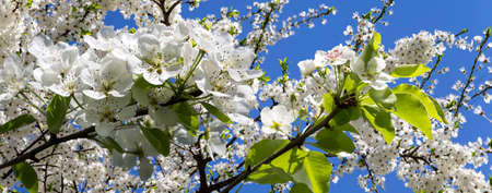 Blooming apple tree branch with large white flowers in spring time (spring background with white flowers