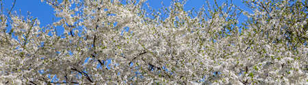 Blooming tree (apple, plum, cherry, pear) in spring time (spring background with white flowers). Sunny day Standard-Bild