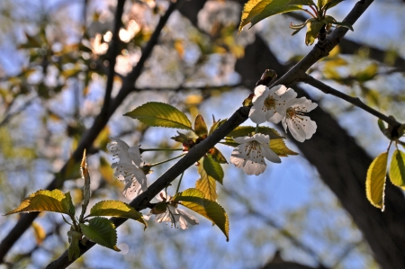 Cherry blossom branch in the spring photo
