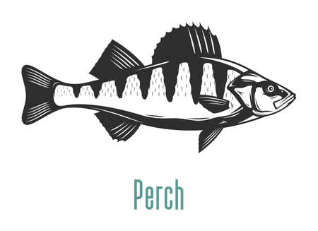 Vector perch fish illustration isolated on a white background