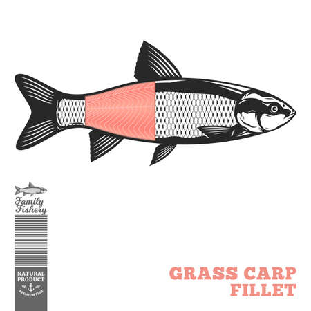 Vector grass carp fish illustration with fillet part