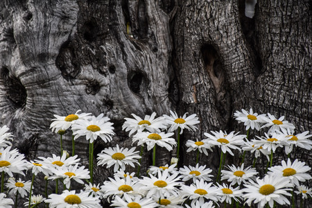 Many daisies next to an olive tree