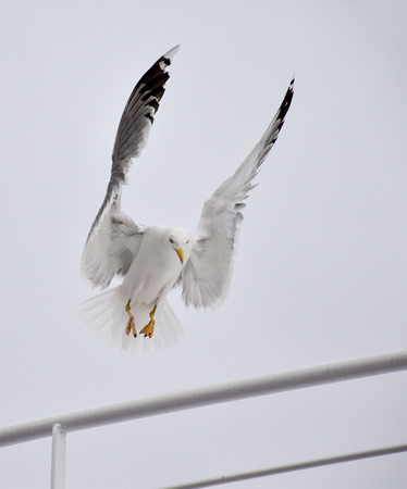 Seagull landing on a boat Stock Photo