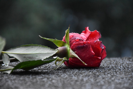 A red rose dropped on the street with dew drops on its crimson petals