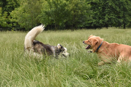 Two large dogs playing in a field of tall grass Stock Photo