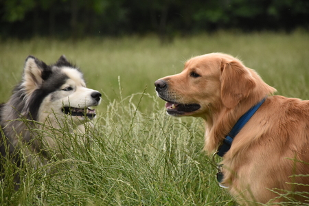 Two large dogs meet in a long grass field Stock Photo