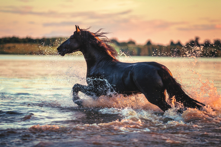 horses in the wild: horse running in the water Stock Photo