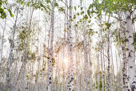 Birch Grove at summer