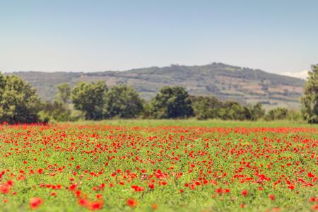 Tuscany poppy field