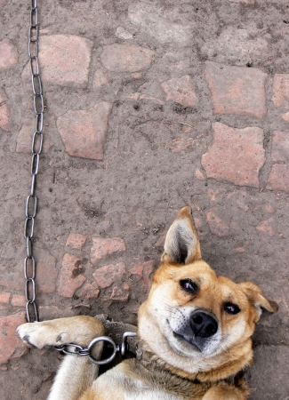 doomed: Chained dog which pitifully looks at camera