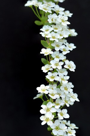 white flowers on a black background.  Spirea
