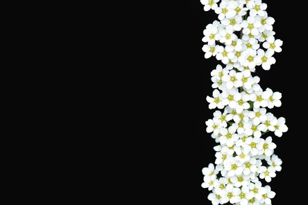 coronarius: white flowers on a black background.  Spirea