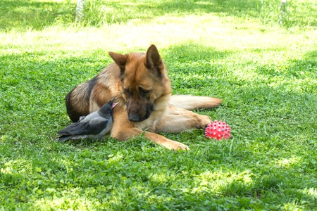 Young Hooded Crow and German Shepherd friendship Stock Photo
