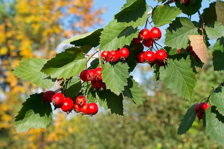 Hawthorn Tree ordinary. Ripe fruit on the branch.