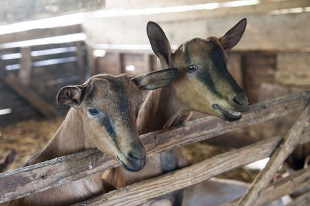 Two sweet brown goats in the old cote Stock Photo