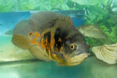 Exotic fish in the aquarium Stock Photo