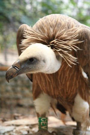 A griffin vulture Stock Photo