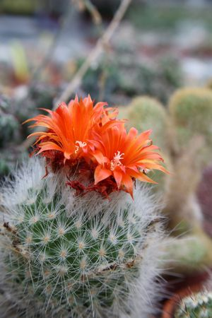 A cactus with a pair of flowers photo