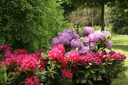 dipladenia: Giardino Dipladenia sundaville